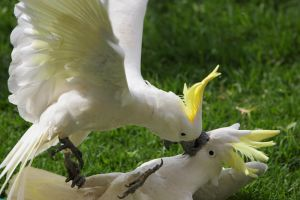 Sulphur Crested Cockatoos 1 by chezem