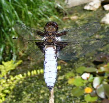 broad-bodied chaser : closeup by Vitaloverdose