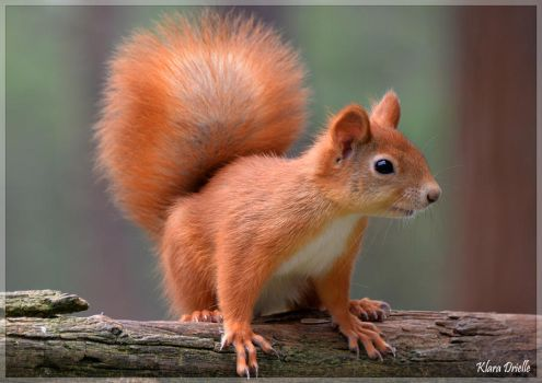 Cute red squirrel by KlaraDrielle