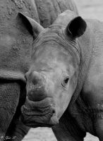 a young white rhino by Yair-Leibovich