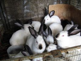 Rabbits by valsomir