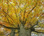 tree in autumn HDR by davidst123