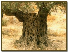 Old  olive trunk by ShlomitMessica