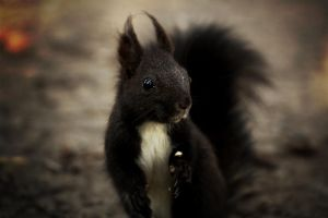 squirrel by Borderkowa