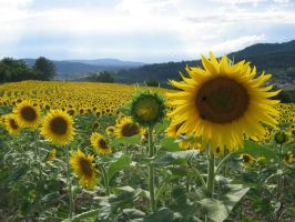 The Sunflower by Aletsia