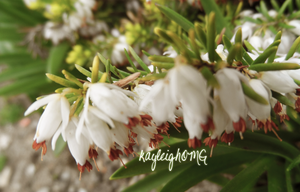 White Heather by kayleighOMG