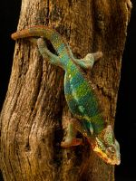 Chameleon by Pystoph