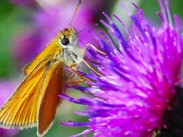 conspicuous butterfly by WIRTA