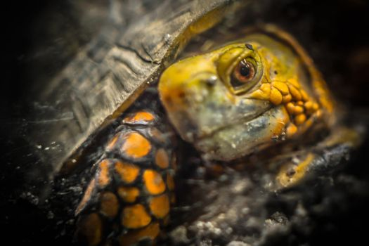 Mexican Box Turtle - 89272 by kreativEVOLUTION