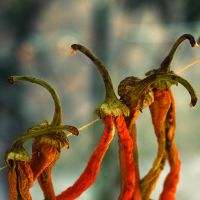 drying peppers by lorienzeren