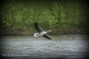 Landing the greylag goose. by Bermiro