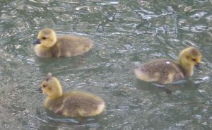 Stock - Ducklings by rockgem