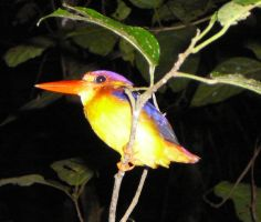 Colourful Kingfisher by devonette