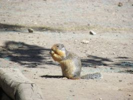 BC Marmot by leopard0825