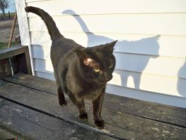 Black Cat Blue Shadow by TheTweedleTwins