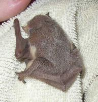 Redtail Bat Baby Backview by crumpstock