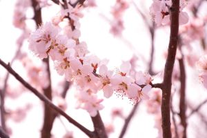 Spring Sakura by seeingthroughthelens