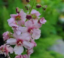 Pretty June Pink by Forestina-Fotos