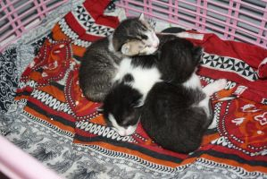 Tabby's little kittens 5 by shehrozeameen