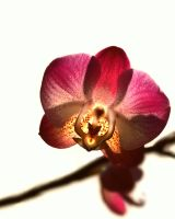Orchid in light: Phalaenopsis by Althytrion