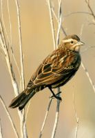 Female Red Winged Blackbird by Kippenwolf