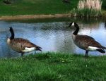 GEESE GAGGLES OF POSER CANADIAN GEESE-WELL 2 OF EM by AudraMBlackburnsArt