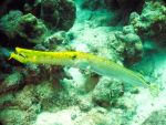 Bright yellow trumpetfish by g--f