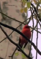 Scarlet Tanager by jmarie1210