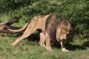Barbary Lion 01 by JohnFE