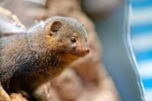 Mongoose by Serenity0418