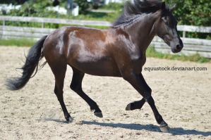 Black Warlander canter by equustock