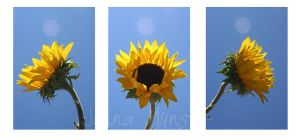 Sunflower by junnamunsta