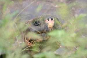Galapagos Giant Tortoise by Serendith
