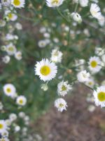 Miniature Daisies 2 by lampshaded-stock