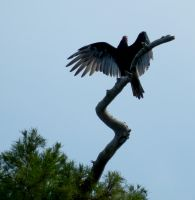 The Proud Vulture by Eco-Cate