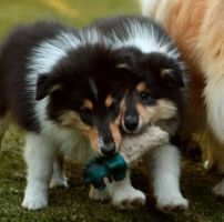Both tri coloured pups by xxenssial