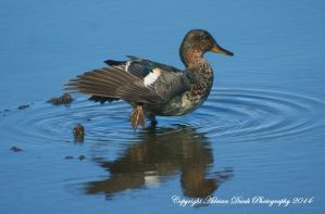 Male Teal. by AdrianDunk