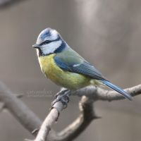 Blue Tit by Carcaneloce