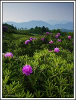 Round Bald Rhodies by TRBPhotographyLLC