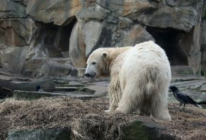 polar bear Knut 6 by Drezdany-stocks
