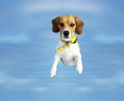 flying beagle by hramat