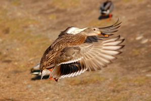 Mallard hen in flight by Glacierman54