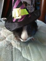 Guinea Pig with a Witch's Hat by Lugora