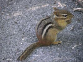 .:Chipmunk:. by peachpit580