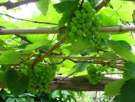 The Vine in our Garden by Washu-M