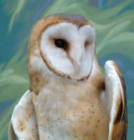 Barn Owl Take Two by ryark