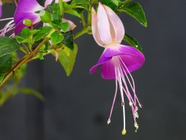 Fuchsia by FeralWhippet