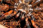 Trap door spider by inckurei