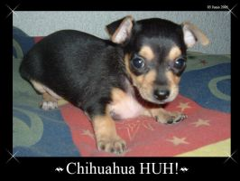 Chihuahua HUH by Avatar-Grow