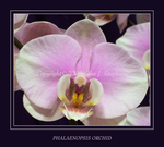 Phalaenopsis Orchid by DragonEyzs